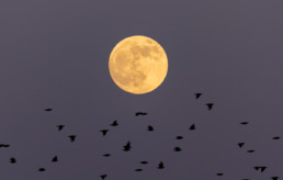 Supermoon with silhouette Starlings