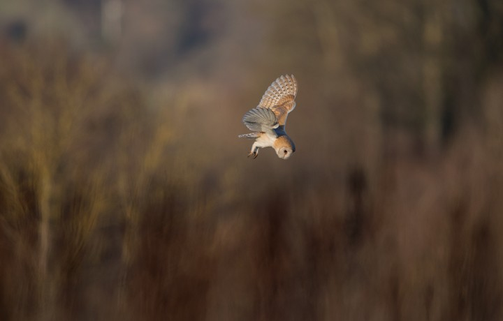 Barn Owl in flight in the late afternoon sun daytime