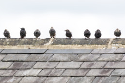 Photo project on starlings