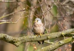 Male Kestrel on a branch