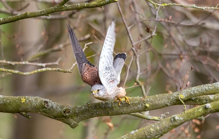 Male Kestrel lunching into flight