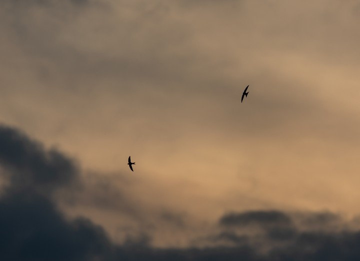 Two swifts (Apus apus) soaring in a stormy spring sky, Burley in Wharfedale.