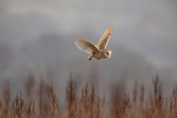 With the light catching its glorious feathers, a barn owl (Tyto alba) flies over long grasses, Burley in Wharfedale.