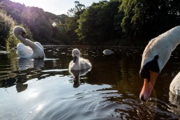 Swan family with cygnet on the river wharfe