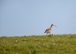 A beautiful curlew (Numenius arquata) strides across the horizon, Burley in Wharfedale.