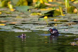 Little Grebe mother with Chick