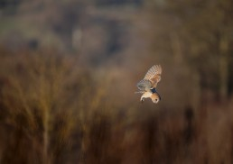 With beautiful markings on display, a barn owl searches for prey, Sun Lane, Burley in Wharfedale.