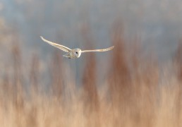 Totally focused, a stunning barn owl (Tyto alba) glides across the field, Burley in Wharfedale.