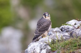 Young Peregrine fledgling at Malham Cove