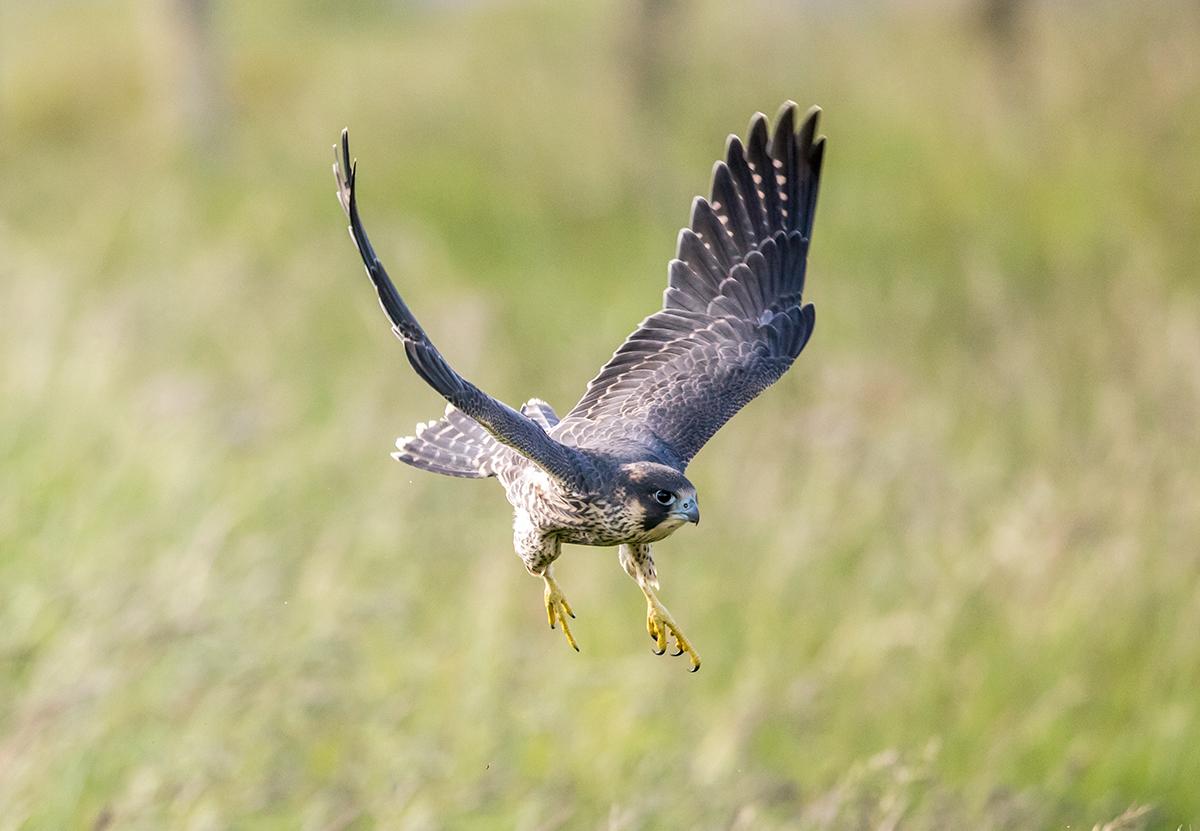 Young Peregrine fledgling in flight, Malham