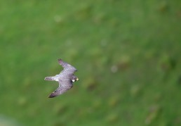 Young Peregrine in flight, Malham
