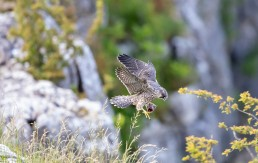 Young Peregrine fledgling in flight with prey at Malham Cove