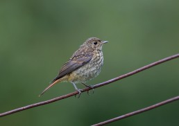 Young Redstart Fledgling