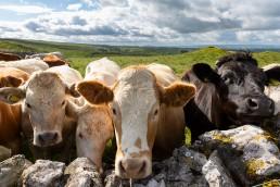 Herd of cattle at Malham Photo Walk