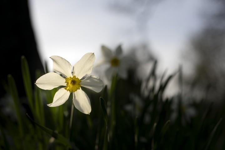 Backlit daffodil, still from photo walk video