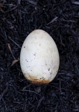 Bird egg on Ilkley Moor after fire
