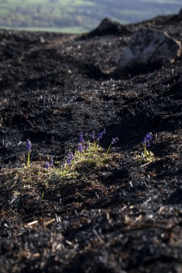 Bluebells on Ilkley Moor after fire