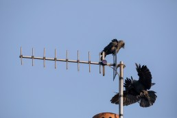 Jackdaws fighting