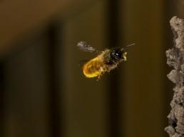 Mason bee in flight