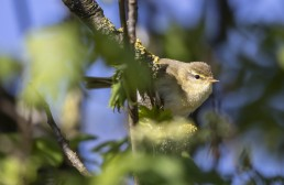Warbler on Ilkley Moor after fire