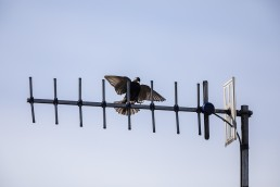 Starling approaching tv aerial
