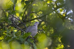 Collared dove in tree