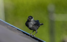Jackdaw on roof
