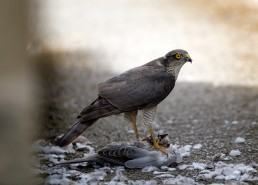 Sparrow Hawk with a pigeon kill