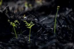 Greeen shoots of fern emerging from black charred Ilkley Moor