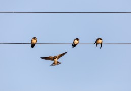 Swallows on telephone lines