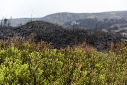 Billberry shoots next to charred vegetation on Ilkley Moor after fire