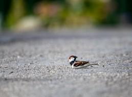 House sparrow dust bath