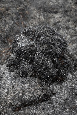 charred fern mound on Ilkley Moor after fire