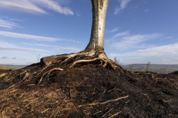 Tree standing asbove the burned ground on lkley Moor after fire