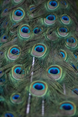 Peacock tail feathers upclose