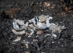 Broken egg shell on burned gorund of Ilkley Moor after devastating fire