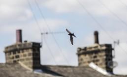 Swift flying up suburban street