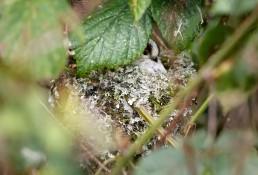 Long Tailed Tit, Aegithalos caudatus in nest