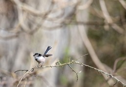 Long Tailed Tit, Aegithalos caudatus alarmed by nearby jay