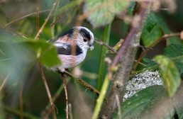 Long Tailed Tit, Aegithalos caudatus with nest material