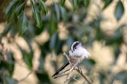 Long Tailed Tit, Aegithalos caudatus with feather for nest