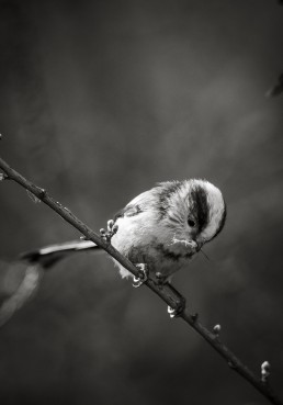 Long Tailed Tit, Aegithalos caudatus in black and white