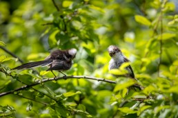 two young Long Tailed Tit, Aegithalos caudatus fledgling