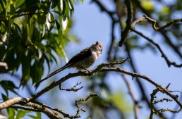 young Long Tailed Tit, Aegithalos caudatus fledgling
