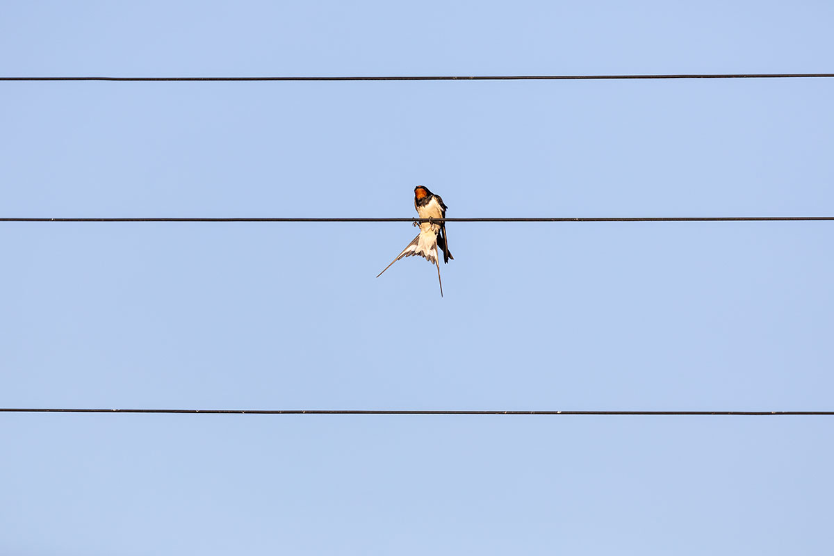 Swallow struggling to balance on phone line wires