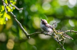 young Long Tailed Tit, Aegithalos caudatus fledgling tongue