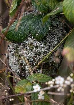 Long Tailed Tit, Aegithalos caudatus nest