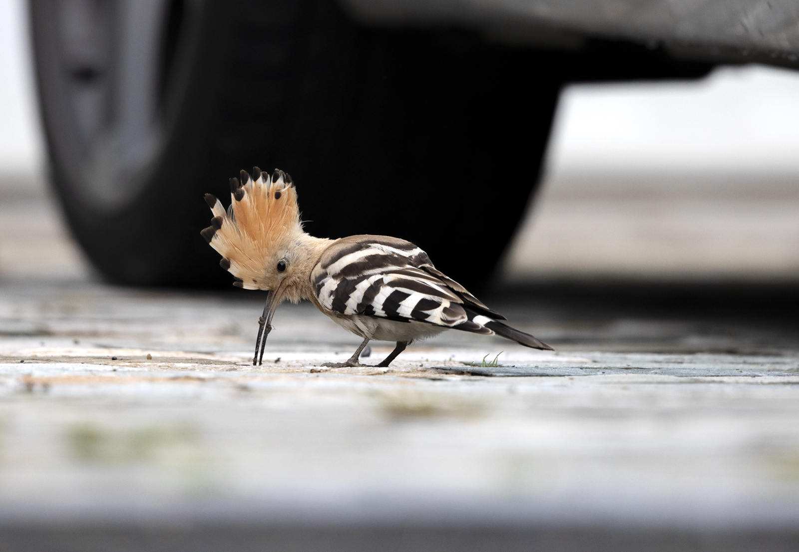 Hoopoe, Upupa epops on a driveway digging for grubs Collingham, Leeds West Yorkshire