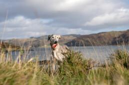 Lurcher dog on the scottish coast Isle of Seil