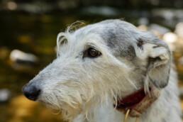 light, grey Lurcher dog portrait Yorkshire Dales, dog walking